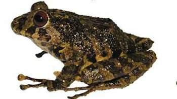 Зоологи назвали новый вид лягушки в честь рок-группы Led Zeppelin
