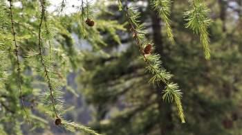 В Челябинске из-за сноса столетней лиственницы уволили двух чиновников